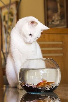 white cat and fish (出典: arielle1965)