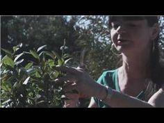 Growing Blueberries : How to Transplant & Propagate Blueberries Garden Hoe, Garden Yard Ideas, Garden Plants, Blueberry Farm, Blueberry Bushes, Edible Plants, Edible Garden, Commercial Aquaponics, Raspberry Bush