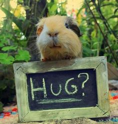 Lots of people keep guinea pigs as pets because they are such cute and friendly little creatures to have around. So, today we will show some interesting funny photos of guinea pigs all around the world. Hamsters, Rodents, Chinchillas, Animals And Pets, Baby Animals, Funny Animals, Cute Animals, Funny Animal Pictures, Cute Pictures