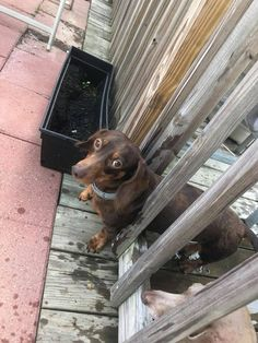 Maybe he shouldn't have had those extra snacks 😂 Had to take the rail off to set him free 🐾 Dachshund Dog, Dachshunds, Bow Wow, Cute Animals, Spirit, Puppies, Snacks, Dogs, Free