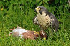 Falco pellegrino con preda, Falco peregrinus, falcone, rapace, predazione, Peregrine Falcon with prey