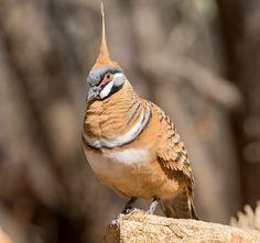 Australian Birds, Pigeon, Bird Species, Pet Birds, Have Fun, Animals, Silly Dogs, Funny Cats, Most Beautiful