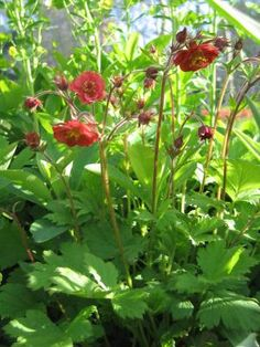 Flames of Passion Avens (Geum)