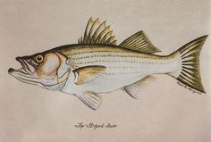 Stripped Bass 5x7 matted print by by MacMurrayDesigns on Etsy, $16.00