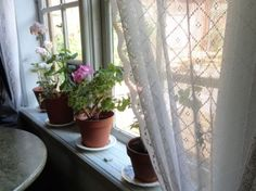 Geraniums and lace - so Swedish
