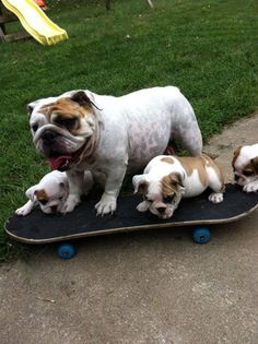 This is how you do it little dude...via Baggy Bulldogs on Facebook