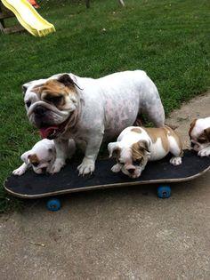 #English #Bulldogs