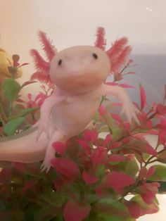 You sure do axolotl questions! — iknow-ulove-coco: Little Kirby! He is so cute and. Cute Little Animals, Baby Animals, Funny Animals, Cute Reptiles, Reptiles And Amphibians, Axolotl Cute, Animal Gato, Cute Animal Photos, Cute Creatures