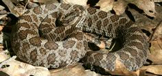 Eastern Massasauga, Sistrurus catenatus. Photo: Joe Crowley.