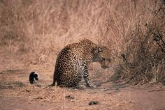 Carnivore Week with Robin Pope Safaris -- Special Interest Safari -- South Luangwa