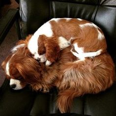 Everything About Playfull Cavalier King Charles Spaniel Temperament Cavalier King Spaniel, Cavalier King Charles Dog, King Charles Spaniels, Puppies And Kitties, Cute Puppies, Cute Dogs, Doggies, Spaniel Puppies, Cocker Spaniel