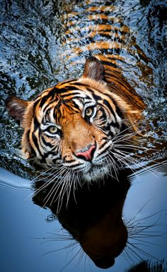 Tiger (by Robert Cinega). Look at the whiskers - both the real ones and the reflection!