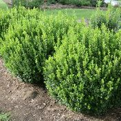 Boxwood care and growing tips to get the most from these versatile evergreen shrubs. Grow beautiful boxwood hedges and topiaries, how and when to prune boxwoods, and boxwood landscaping ideas. Boxwood Landscaping, Boxwood Garden, Small Backyard Landscaping, Landscaping Ideas, Landscape Plans, Landscape Design, Garden Design, Types Of Mulch, Types Of Plants