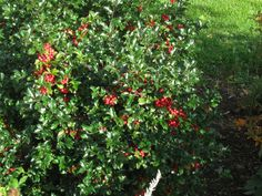 """Holly """"Blue Princess"""" we will put 3-3 foot bushes under FR window flanked by the Blue Maid Holly at 6' each."""