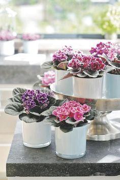 Violetas perfeitas no seu jardim? É FÁCIL!