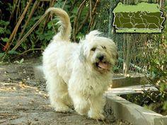 cão Barbado da Terceira