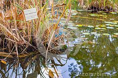 Photo about Thalia dealbata fraser (Marantaceae family) - aquatic plant with species sign in botanical garden. Image of coastal, binomial, fraserwater - 65521472 Aquatic Plants, Plant Species, Water Plants, Botanical Gardens, Coastal, Stock Photos, Signs, Nature, Flowers