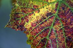 vine leaf in autumn by Alessandro Imbrogno on 500px
