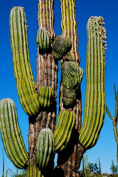 Pachycereus pringlei crest by plantmanbuckner, via Flickr