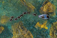 Goosander Family, by Andreas Geh, German Photographer of the Year, GDT Nature Photographer of the Year.