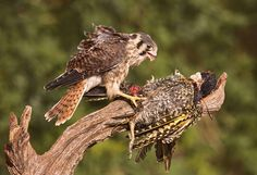 Hawk and Prey by Mario Gustavo Fiorucci http://www.earthshots.org