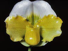 Slipper-orchid: Paphiopedilum Emerald Moon 'The Globe' - Flickr - Photo Sharing!