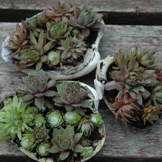 Mini hen and chick succulents in seashells