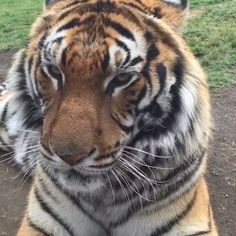 Frankie Friday!! Looks how healthy and handsome #Frankiebjwt is now  what a great job @blackjaguarwhitetiger has done since rescuing Frankie from the circus  #RescuedTigers #SaveTigers #NOTPETS #NoSonMascotas #BeHuman #SaveOurPlanet #SaveHabitat #ItsAllForLove #Tiger #BoycottCircus #Handsome #BlackJaguarWhiteTiger  Video by @boycottcircus @blackjaguarwhitetiger