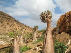 Cucumber Tree (Dendrosicyos Socotranus) –  tree endemic only to Socotra