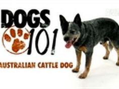 Dogs 101- Australian Cattle Dog