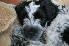 Dikus de Does (Schapendoes, Dutch Sheepdog) 10 weeks