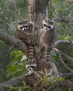 ~~A trio of bandits ~ baby raccoons by Don Anderson~~