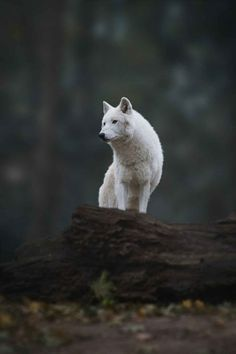 The Lone Wolf. Polar Wolf by Christian Mladik Wolf Photos, Wolf Pictures, Animal Pictures, Wolf Love, Beautiful Creatures, Animals Beautiful, Animal Original, Animals And Pets, Cute Animals