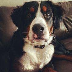 Hemmingway - Bernese Mountain Dog