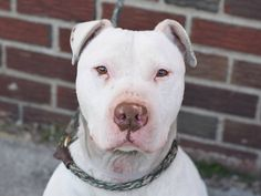 TO BE DESTROYED - 03/27/15 Brooklyn Center  My name is STYLES. My Animal ID # is A0854896. I am a neutered male white pit bull mix. The shelter thinks I am about 6 YEARS old.  I came in the shelter as a OWNER SUR on 03/22/2015 from NY 11423, owner surrender reason stated was MOVE2PRIVA. https://www.facebook.com/photo.php?fbid=983628454983367