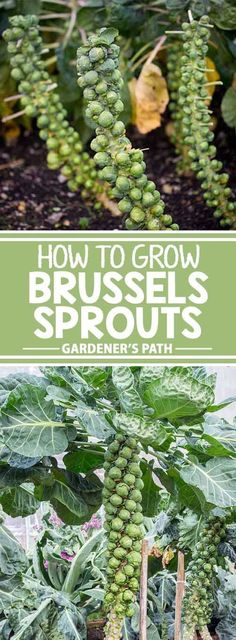 Despite a reputation for being tricky, you can certainly grow Brussels sprouts in your home garden, as long as you follow a few guidelines. Learn how now at Gardener�s Path.