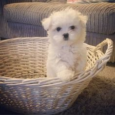 This is Noah, he's a maltese for all my adopted kids