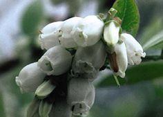 Vaccinium 'Northblue' - Northblue Blueberry (flowers)