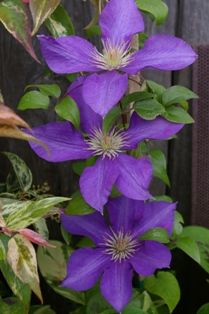 Clematis 'Ascotiensis', Blooms are 5 1/2 inch.  Early summer to late summer bloomer.  Grows to 6 feet tall.