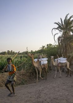 Tribe Man With His Camels, Afambo, Ethiopia