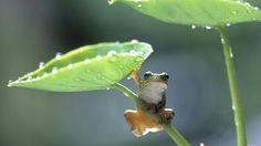 klein frosch