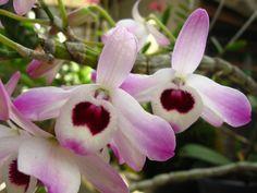 Alguma mulher além de Lilly Caul aceitaria um ramalhete de flores de olho de boneca ? Ah , talvez sim , se você soubesse que elas nada mais são do que estas belas orquídeas . by P!v