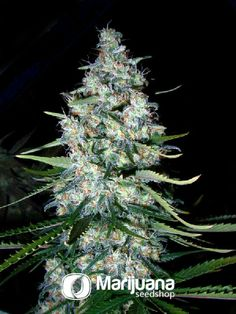 Buy Mexican Sativa seeds online at the Marijuana Seedshop. Yield up to 350 grams a square meter! Mexican Sativa marijuana seeds are 30% Indica and 70% Sativa. Mexican Sativa buds will have eventually 19% THC and 1.30% CBD. These Mexican Sativa seeds has a flowering time of 9 weeks.
