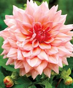 """Dahlia, Dinnerplate Otto Huge, """"dinnerplate-size"""" flowers-up to 12 inches! Holland's biggest pastel dahlia Long-lasting blooms add dazzle to late-"""