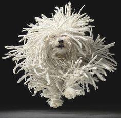 Hungarian dog breed called puli