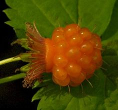The Wild Garden: Hansen's Northwest Native Plant Database - growing salmonberries