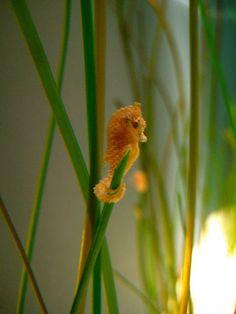 Cute Baby Seahorse :)