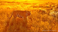 Golden Girl by Marsel van Oosten on 500px Tiger in South Africa.  This was shot on a late afternoon at the end of a beautiful sunny day. We spotted this tigress and I decided to position ourselves opposite the sun to use the beautiful backlight that turned the whole scene into gold.
