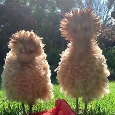 Beautiful Chickens, Animals Beautiful, Funny Animal Memes, Funny Animal Pictures, Funny Memes, Cute Little Animals, Cute Funny Animals, Fluffy Chicken, Fancy Chickens