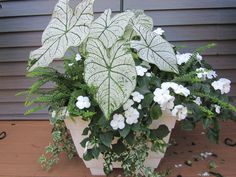 Bright white container for a shady corner- love this!! White Impatiens, white Caladium in a white pot